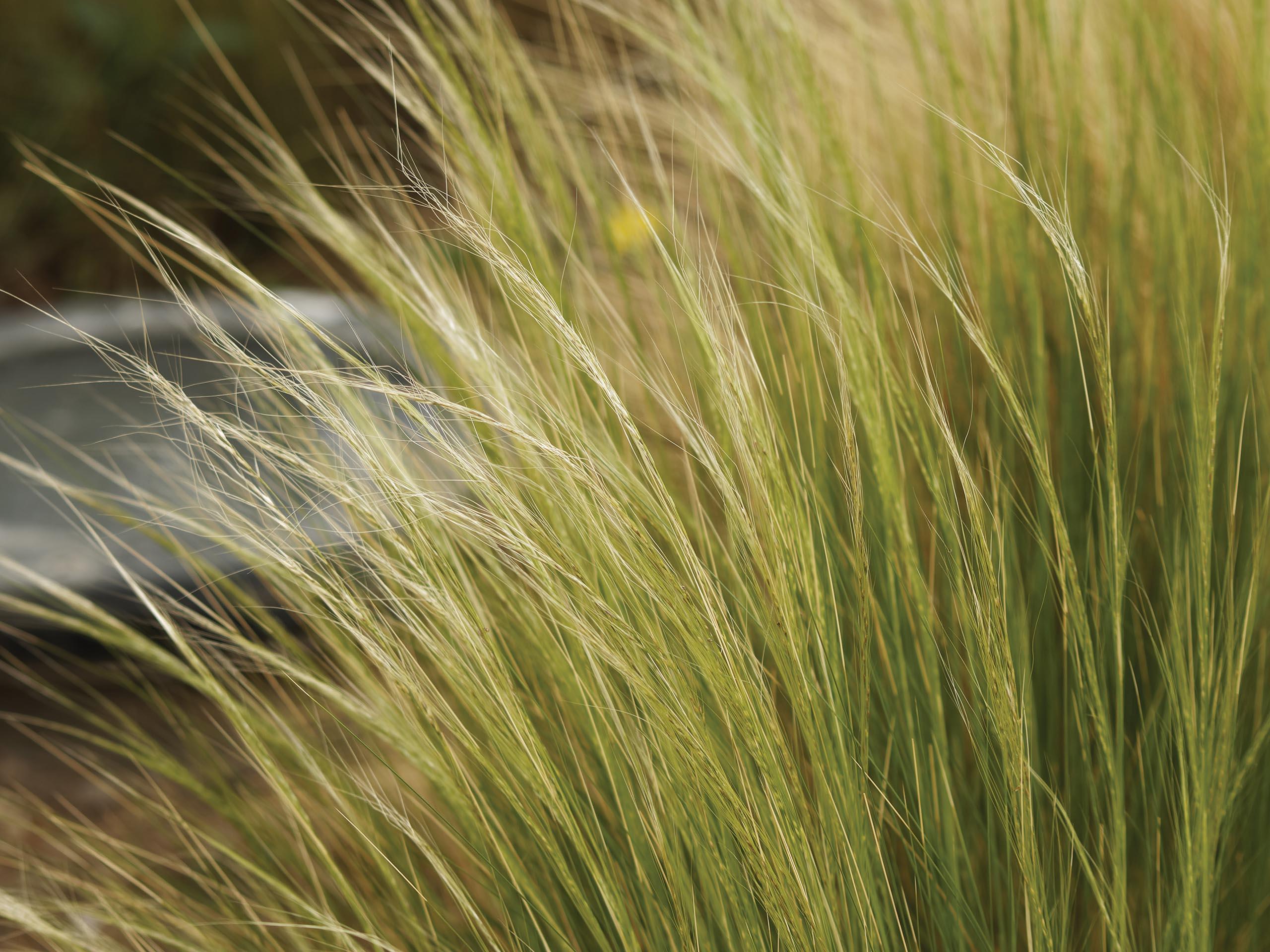 Mexican feathergrass 'Nassella tenuissima'